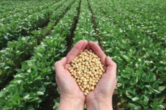 龙江育成高油高产大豆 脂肪含量比进口转基因大豆高