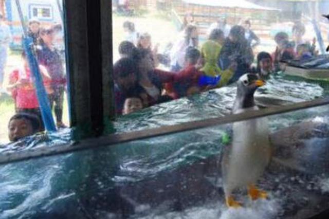 极地馆企鹅有了新座驾 夏天也可以逛街看绿草了