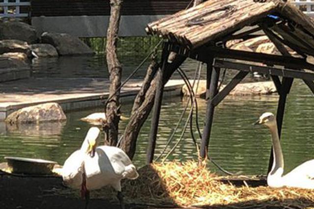 首次发现白天鹅自然孵化 5只鹅宝宝将陆续破壳而出