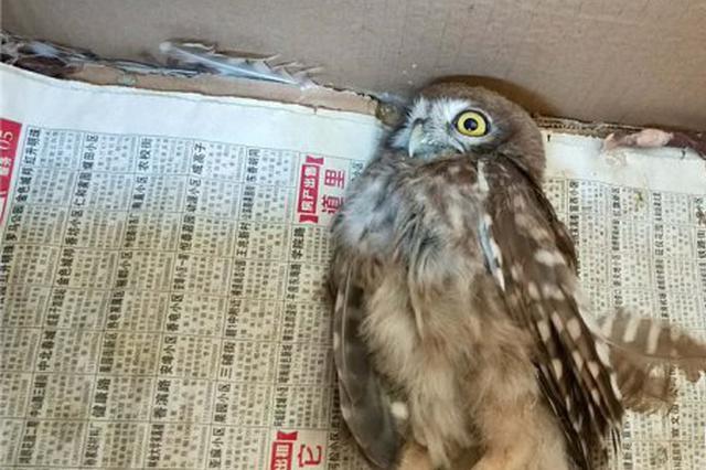市民道外捡到受伤长耳鸮幼鸟 已送鸟语林救治