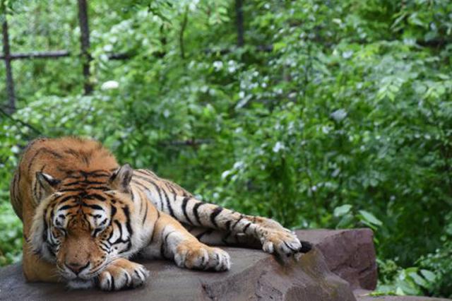 雨中动物园花式惬意侠 强者依旧是虎大王雨天也睡觉