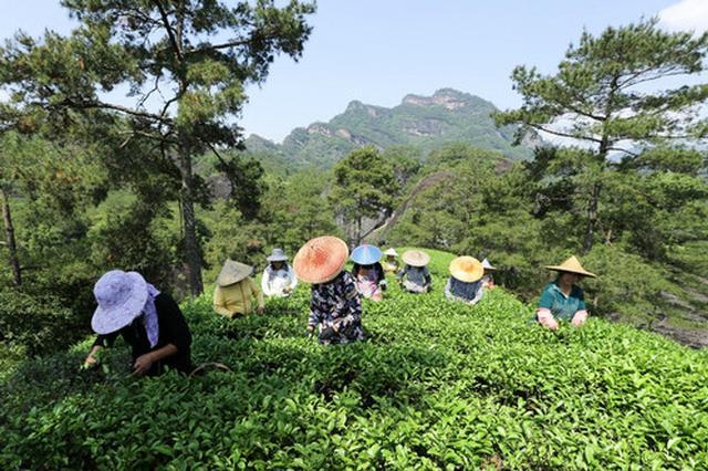 英媒:高档茶热销改变武夷茶农命运 年收入近800万