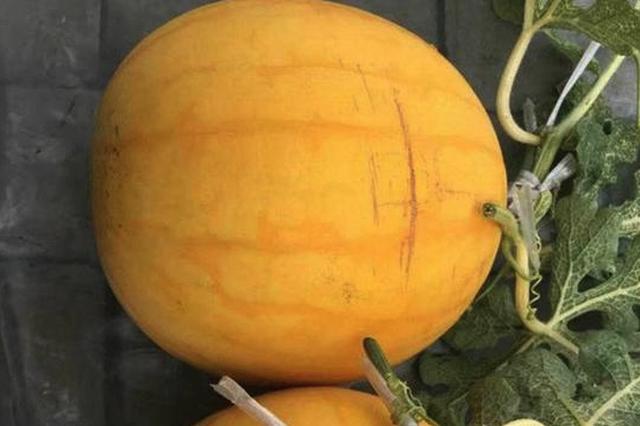 冰城自育黄金西瓜成功 种子价由1粒两三元降至1元内
