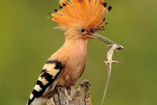 """头带""""花冠""""小鸟飞入居民家 一查竟是珍稀戴胜"""
