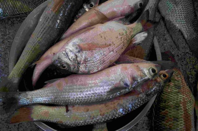 意大利养鱼场被指残忍屠杀:窒息杀鱼而非棍棒敲死