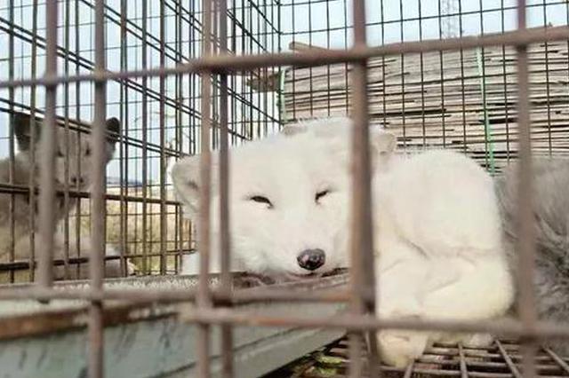 几十只狐狸饿死在大顶子山 被放生在野外它们没法生存