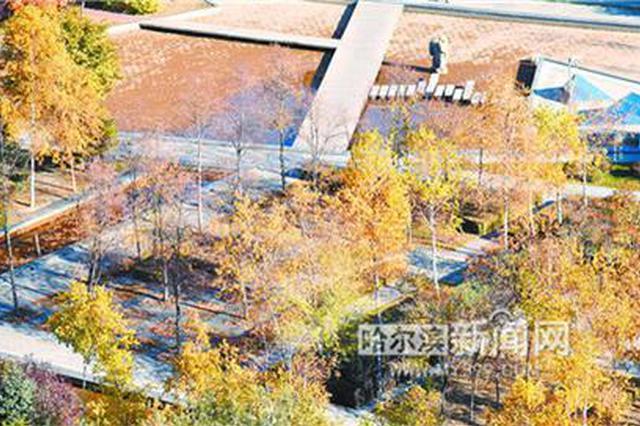 哈尔滨全城杨树迎来最美观赏季 今年树叶变色较往年晚