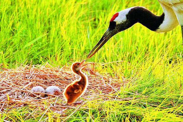 黑龙江省扎龙湿地40年 湿地与鹤同美享誉海内外