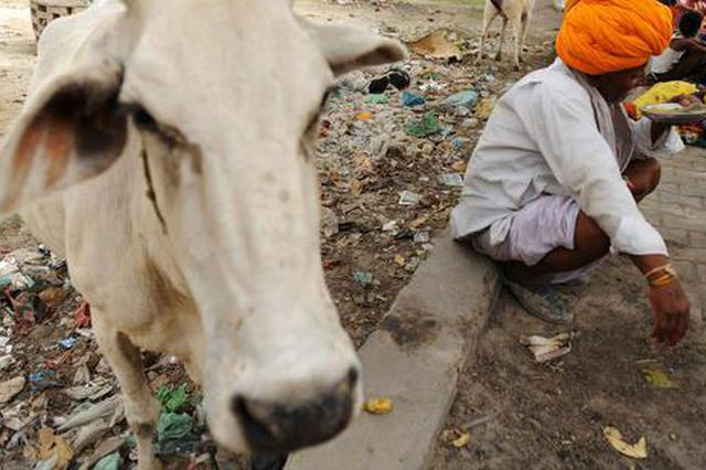 """印度拟建""""新型""""养老院:奶牛和老人一起生活"""
