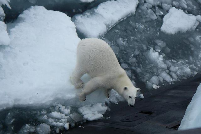 俄军核潜艇上来了不速之客:一头北极熊