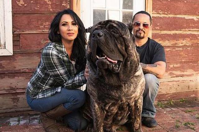 美国2岁獒犬体重96千克 身形庞大胜过成人(图)