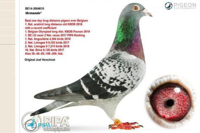 比利时一只信鸽拍出953万天价 买主为中国富豪