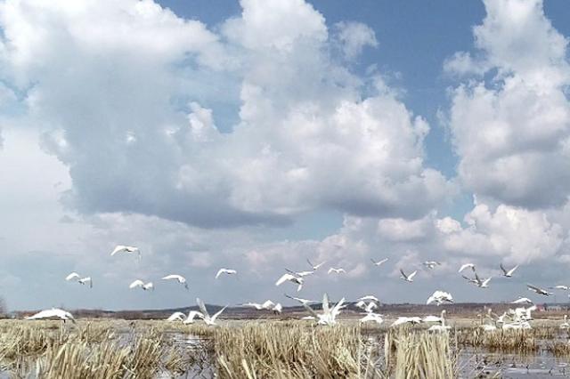 200余只野生白天鹅随春至黑龙江 栖息数日后将继续北飞