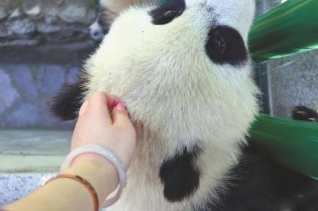 女大学生回应偷摸熊猫宝宝:熊猫越狱成功兼碰瓷