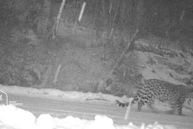 龙江穆棱林区首次拍到东北豹活动影像 全世界不超百只