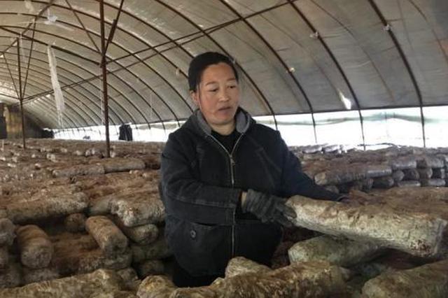 """河北贫困母亲的""""勤字经"""":从打零工到食用菌种植大户"""