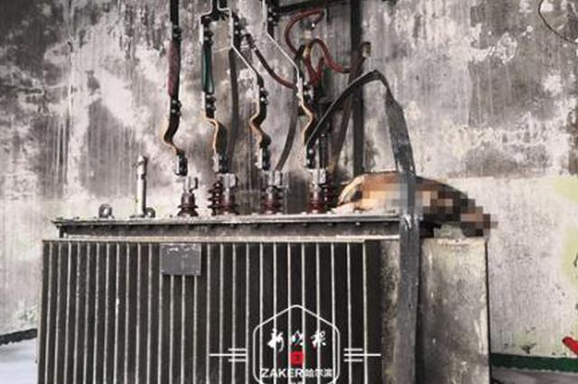 小猫爬进变电亭致电路故障 哈尔滨道里2000户停电