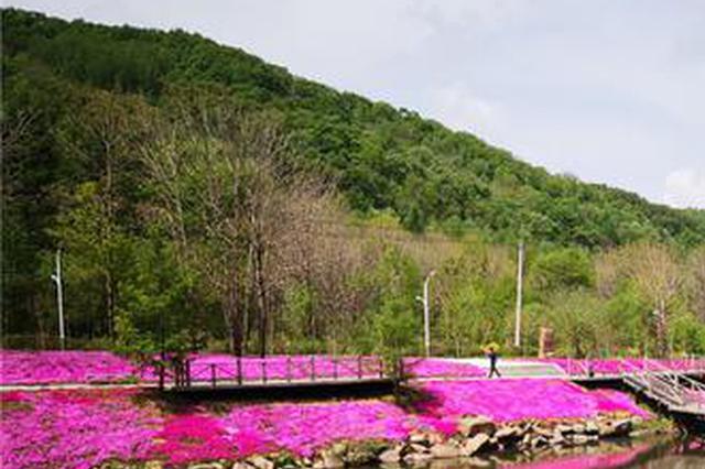 """这里铺了超50万枝芝樱""""花毯""""能拍一个月"""