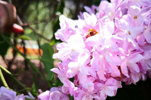 """""""重瓣丁香""""见过吗 单花上有10多个花瓣咱冰城造"""