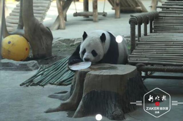 """羡慕 亚布力的熊猫姐弟吃着""""冰糕""""吹着空调 恣意玩"""