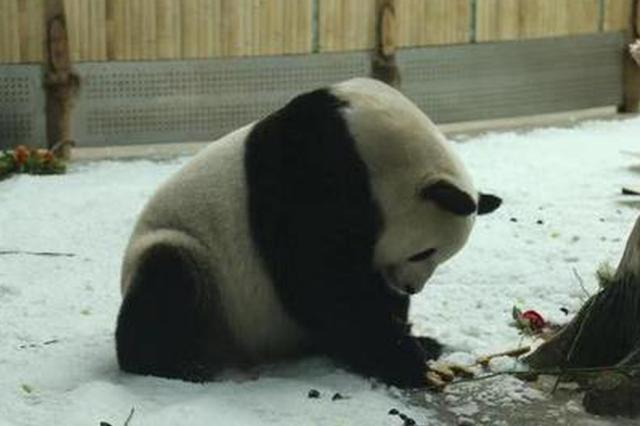 """亚布力8月下雪?原是""""猫粉""""在给熊猫宝宝过生日"""