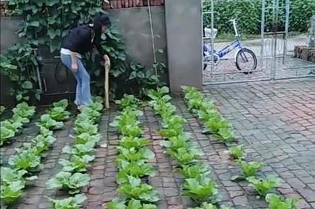 """园艺天赋遇上黑土 这位双城女士""""砖缝种菜""""网上爆红"""