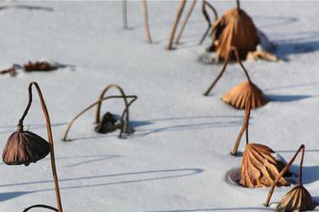 谁说碧绿的荷塘最美?雪后残荷图送你 看过揭晓答案吧