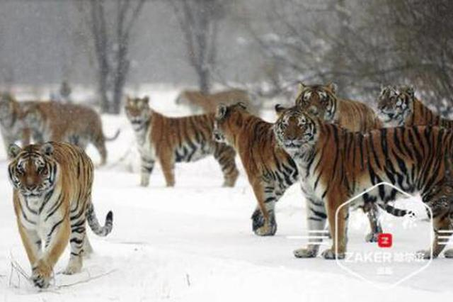虎啸雪原 皑皑白雪中的东北虎气场十足
