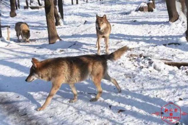 美翻了 愈下雪愈兴奋,看狼群、鹿群、猴孩子玩嗨了