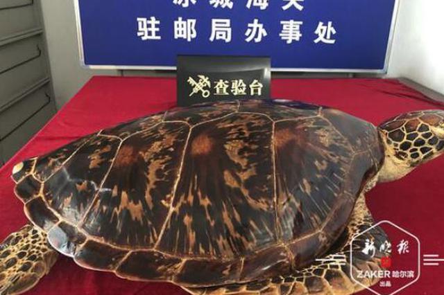 冰城海关查获绿海龟标本 二级保护野生动物 重4.28千克
