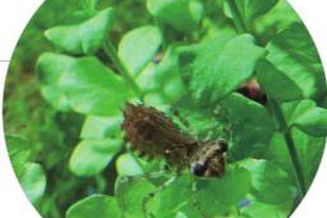 冰城市民鱼缸现怪虫 尖嘴巴脑袋三角形 原是蜻蜓幼虫