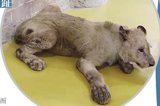 哈市一地下动物园看着堵心:狮子腿上带伤 土拨鼠断两趾