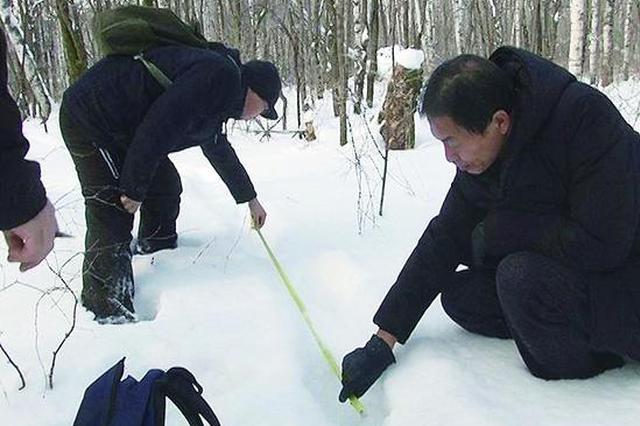 时隔两年 极速黑龙江时时彩-黑龙江时时彩官方省海林林区再次发现野生东北虎足迹