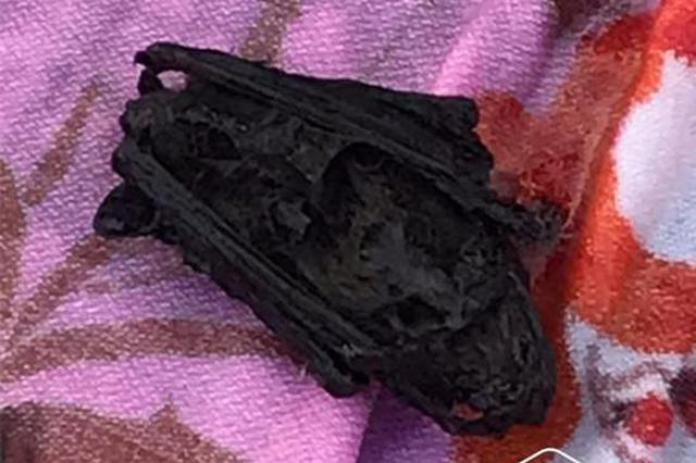 """黑龙江一居民家中闯进""""不速之客"""" 竟是一只生病蝙蝠"""