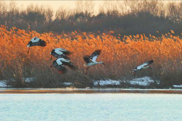300余只东方白鹳筑巢鹤城 为湿地景区增添亮丽风景线