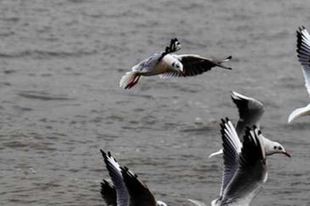 东方白鹳开始北迁 黑龙江省迁徙候鸟约350种