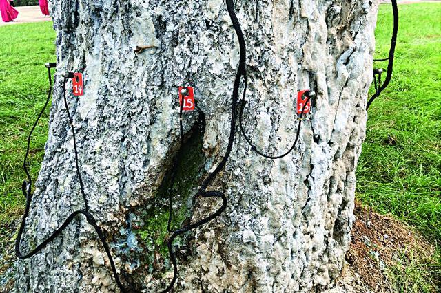 解密冰城古树名木:最老野梨树134岁胸径小辈分不一定小