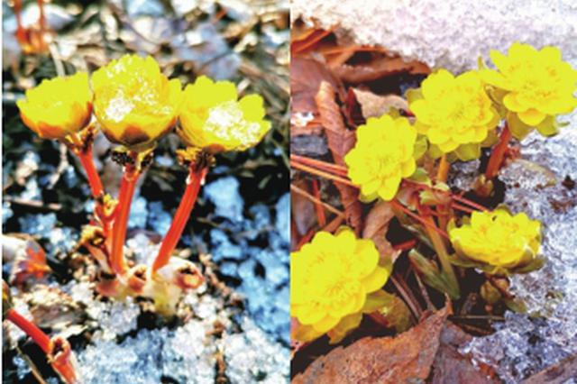 黑龙江省多地冰凌花破冰绽放 快来踏春赏花吧