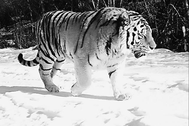 黑龙江省萝北太平沟保护区发现4只野生东北虎
