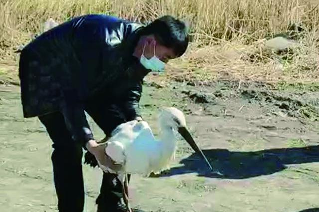 东方白鹳受伤腿折了 已被乌裕尔河自然保护区救助