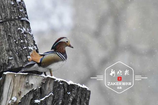 哈尔滨兆麟公园50多只北归鸳鸯生活得老滋润了