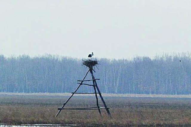 """珍宝岛湿地自然保护区为国家一级保护鸟类造""""蜗居"""""""