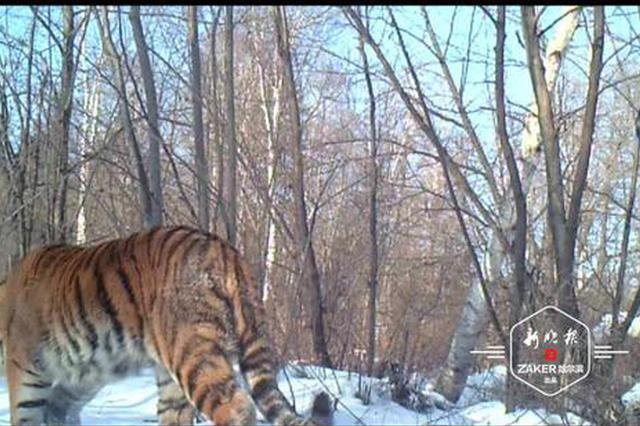 又见野生东北虎 白天漫步林间 与以往拍到的不是同一只
