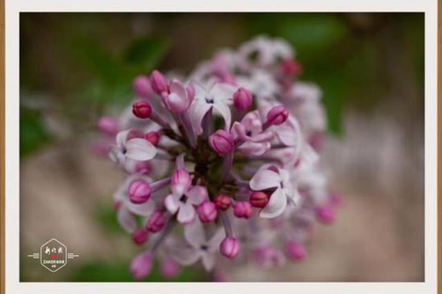 冰城五月丁香竞放 满城紫 满城香