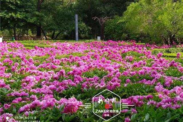 超美预警 赏花期延长达20余天 冰城这里的芍药花正怒放