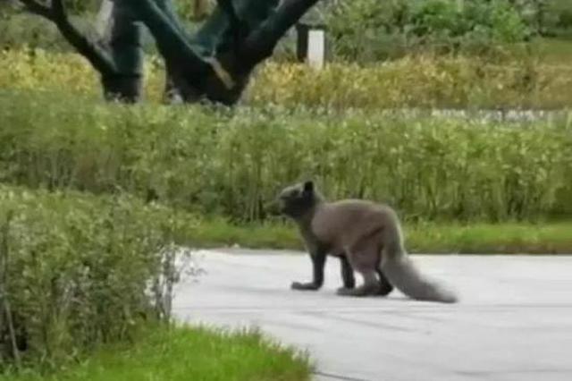 哈尔滨这个小区来了仨狐狸 温顺又可爱 根本不怕人