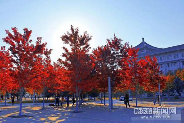 秋意渐浓 哈工程的枫叶红了