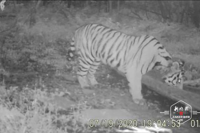 虎出没!监测相机拍到野生小东北虎尾随鹿群找到补饲点