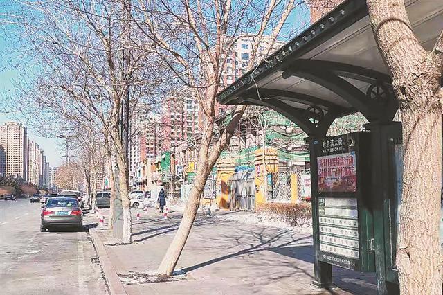 冰城市民反映哈西继红小学门前 公交站旁大树看着悬