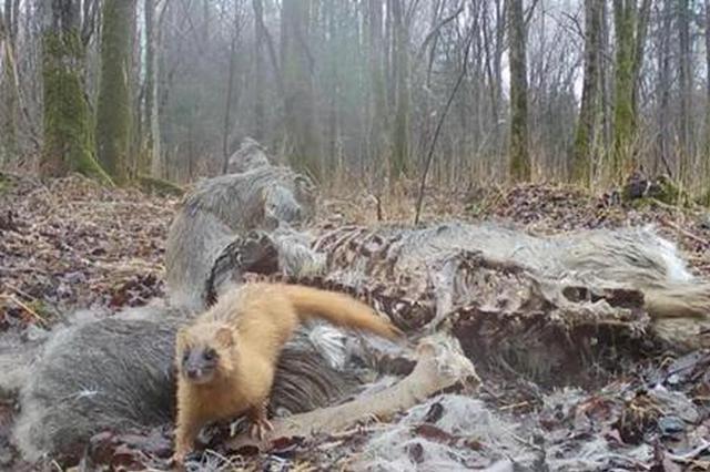 山中布设远红外相机,竟抓拍到黄鼠狼和貉同吃一只狍子